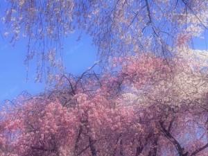 IMG_sakura