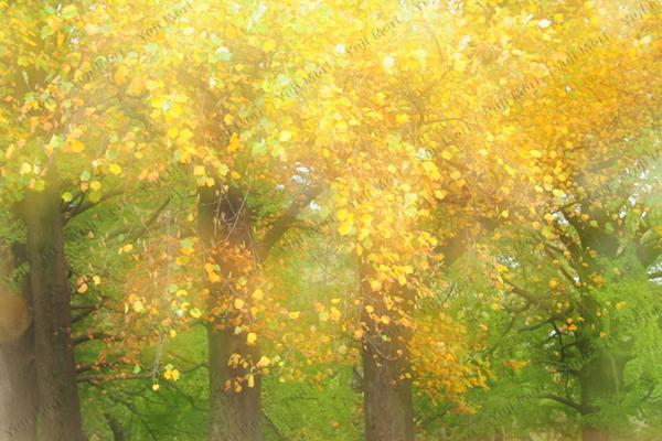 黄葉きらめく 鮮やかな色彩を多重露光で表現。