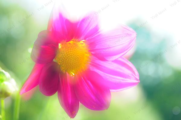 鮮やかに咲くのが得意 それぞれに個性があるから撮影も楽しい。