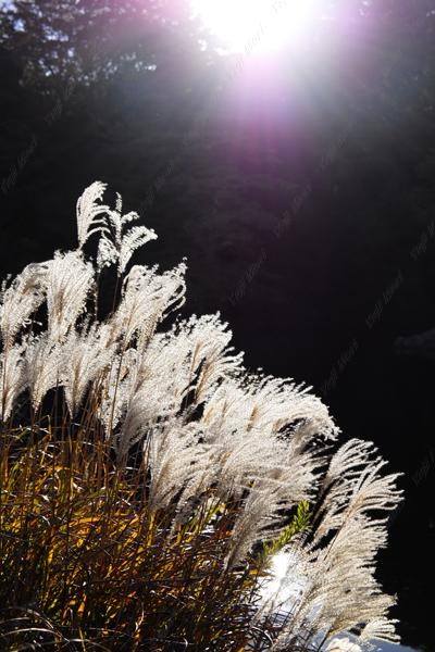 逆光で穂が輝いているときに撮影